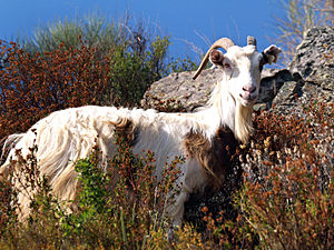 Altiani - A goat in the maquis