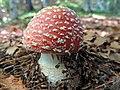 Amanita muscaria (31159390975).jpg