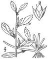 Amaranthus blitoides BB-1913.png