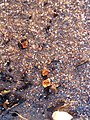 Amber of Baltic sea. - panoramio.jpg