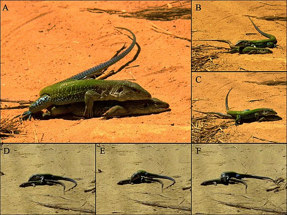 A male Ameiva ameiva mounts a dead female and attempts to pair cloacae. Ameiva ameiva - necrophilia.jpg