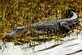 American Alligator at Lake Woodruff - Flickr - Andrea Westmoreland.jpg