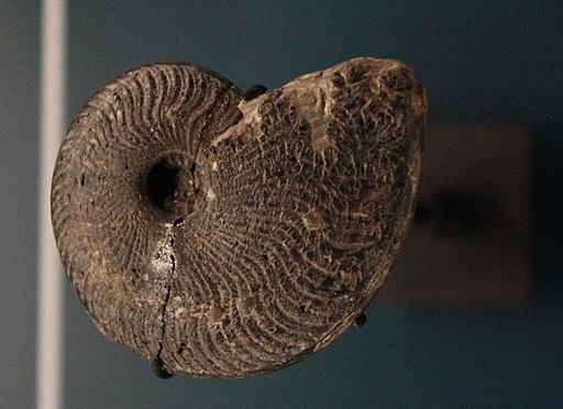 Ammonite - Toarcien moyen 10