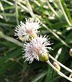 Amphoricarpos neumayerianus Opaljika Bijela gora leg P. Cikovac.jpg