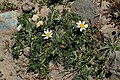 Anacyclus pyrethrum kz08.jpg