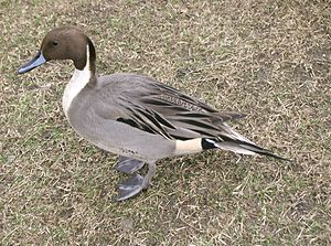 Anas - Northern pintail, Anas acuta