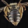 Andrena ceanothi, female, back1 2012-08-07-17.53.44 ZS PMax (8113271564).jpg