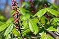 Andrena sp. (40950826682).jpg