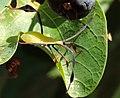 Anisoscelis luridus 573383.jpg