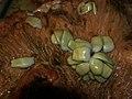 Anoplocephala perfoliata fig3.jpg