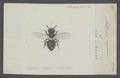 Anthocopa - Print - Iconographia Zoologica - Special Collections University of Amsterdam - UBAINV0274 045 06 0021.tif