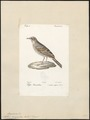 Anthus campestris - 1842-1848 - Print - Iconographia Zoologica - Special Collections University of Amsterdam - UBA01 IZ16300169.tif