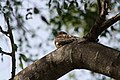 Antillean Nighthawk (Chordeiles gundlachii); Cabo Rojo National Wildlife Refuge, Puerto Rico.JPG