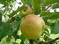 ApfelTopaz159.JPG