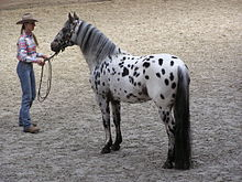 220px-Appaloosa_stallion.JPG