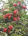 Apples overhanging the road near Henley school - geograph.org.uk - 965535.jpg