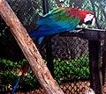 Ara chloropterus macaw IGZoopark Visakhapatnam.JPG
