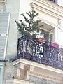 Araucaria on balcony, place des Abbesses, Paris.jpg