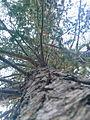 Arbre (Cèdre de l'Atlas) parc national de Belezma 3.jpg