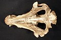Archaeotherium mortoni Leidy, 1850 1.jpg