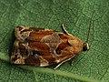 Archips xylosteanus ♂ - Variegated golden tortrix (male) - Листовёртка-толстушка пестрозолотистая (самец) (40585281654).jpg
