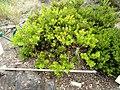 Arctostaphylos - University of California Botanical Garden - DSC09012.jpg