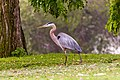 Ardea herodias -South El Monte, California, USA-8.jpg
