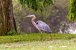 A great blue heron near South El Monte