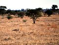 Ardeotis kori, Satara-vlaktes, Krugerwildtuin.jpg