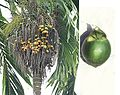 Areca catechu, Betel Nut (14436668393).jpg
