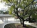 Ario Kurashiki kusunoki hiroba - panoramio (1).jpg