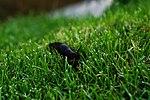 Arion hortensis.jpg