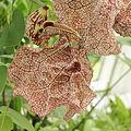 Aristolochia labiata-IMG 4605.jpg