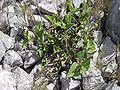 Aristolochia pistolochia1.jpg
