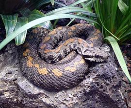 https://upload.wikimedia.org/wikipedia/commons/thumb/9/93/Armenian_viper.jpg/270px-Armenian_viper.jpg