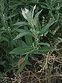 Artemisia douglasiana1stonebird.jpg