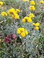 Artemisia sp. genepi .jpg