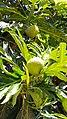 Artocarpus altilis in Brazil.jpg