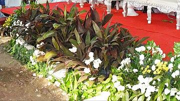 Cordyline fruticosa - Wikipedia