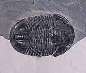 Fòssil de Trilobit, característic del Paleozoic.