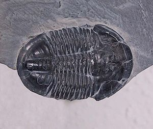 Ptychopariida - Asaphiscus wheeleri, a Cambrian trilobite of the Superfamily Ptychoparioidea