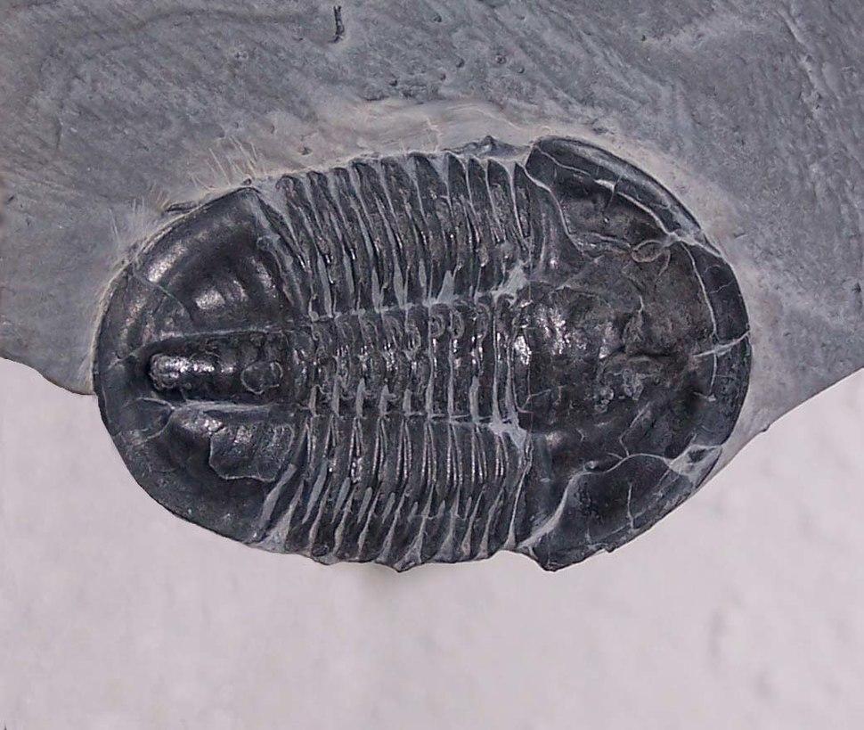 Asaphiscuswheelerii