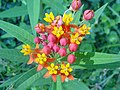 Asclepias curassavica Flowers1.jpg