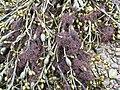Ascophyllum nodosum with Polysiphonia lanosa.jpg