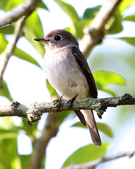 Asian Brown Flycatcher (Muscicapa dauurica) - Flickr - Lip Kee.jpg