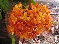 Asoka flower.JPG