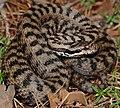 Asp Viper (Vipera aspis) male (found by Jean NICOLAS) (34942233113).jpg