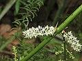 Asparagus racemosus - Satawari flowers - at Peravoor 2018 (12).jpg