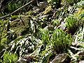 Asplenium scolopendrium americanum CR1936.jpg
