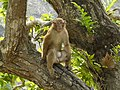 Assamese macaque adult male Teesta AJTJ P1020188.JPG